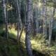 Birke / birch